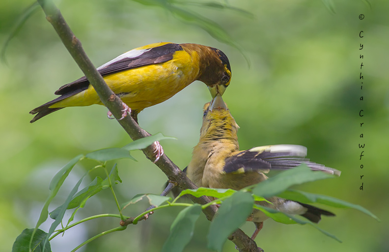 Grosbeak feeding young