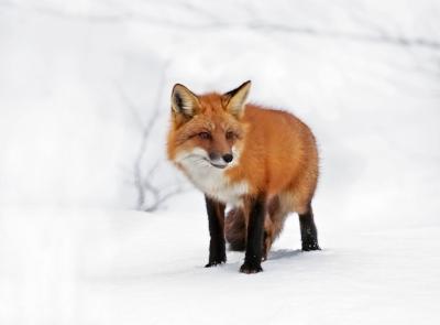 18.fox.0209.jpg