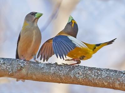 evening.grosbeak.courtship.jpg