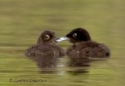 loon.chicks1.c.crawford.jpg