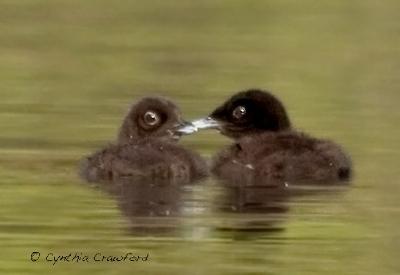 loon.chicks1.c.crawford.jpg