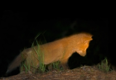 night.fox.baby.jpg