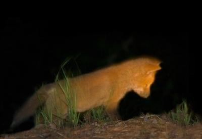 night.fox.baby.jpg