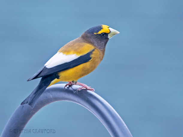 evening.grosbeak_DSC7658.jpg