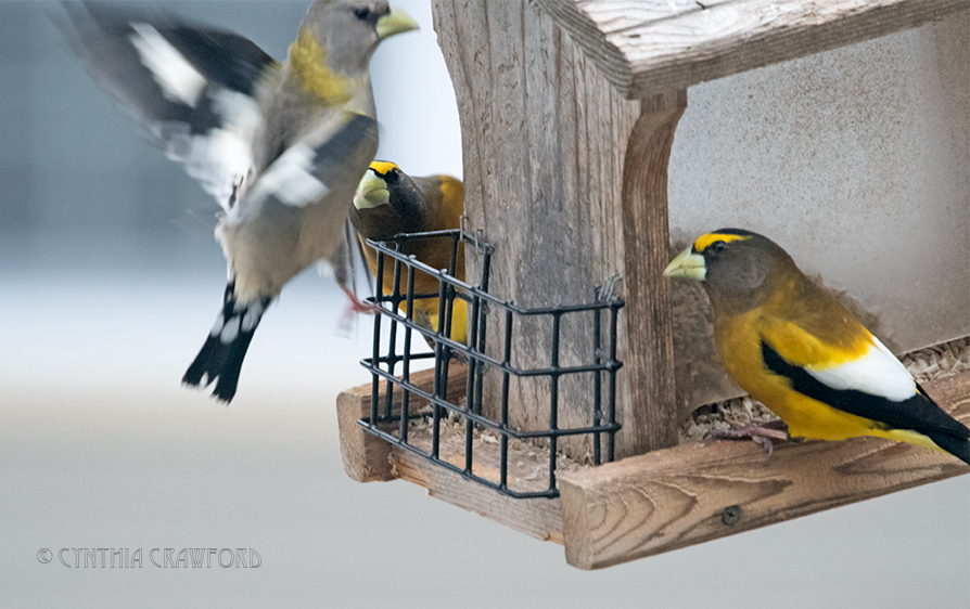 evening.grosbeaks_DSC7654.jpg