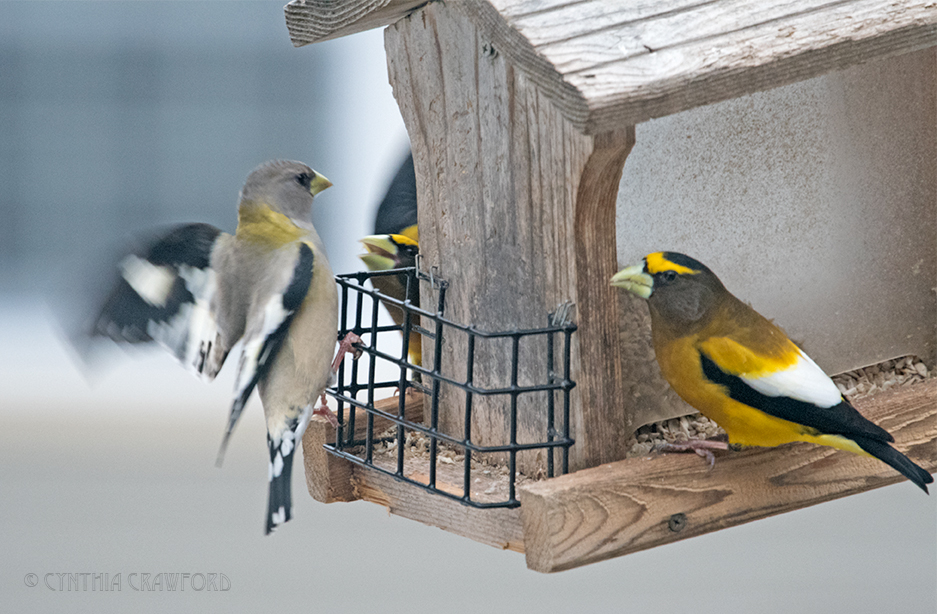 evening.grosbeaks_DSC7653.jpg