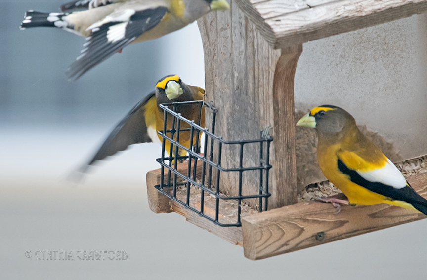 evening.grosbeaks_DSC7655.jpg