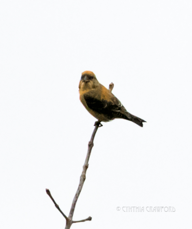 red.crossbill.home_DSC7580.jpg