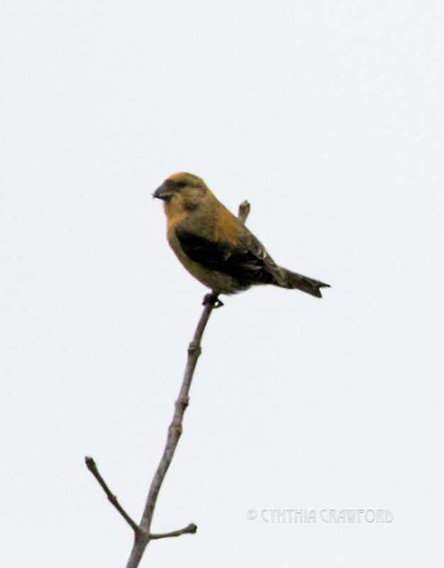 red.crossbill.home_DSC7578.jpg