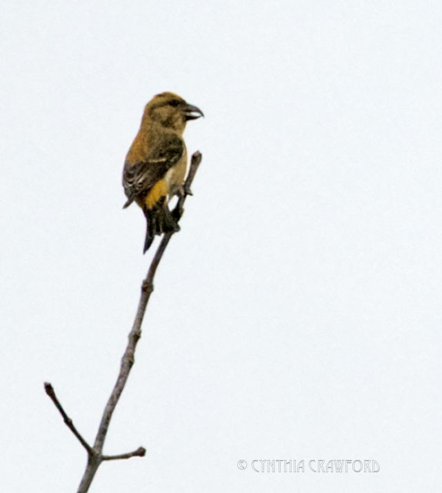 red.crossbill.home_DSC7587.jpg