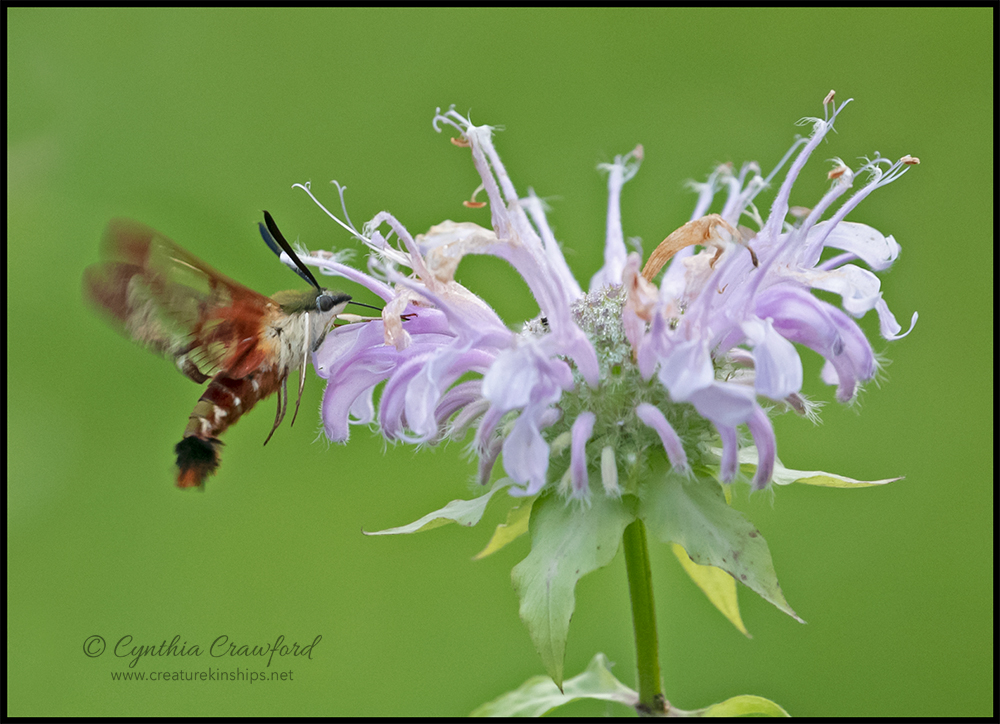hummingbird.moth_DSC4750 copy.jpg