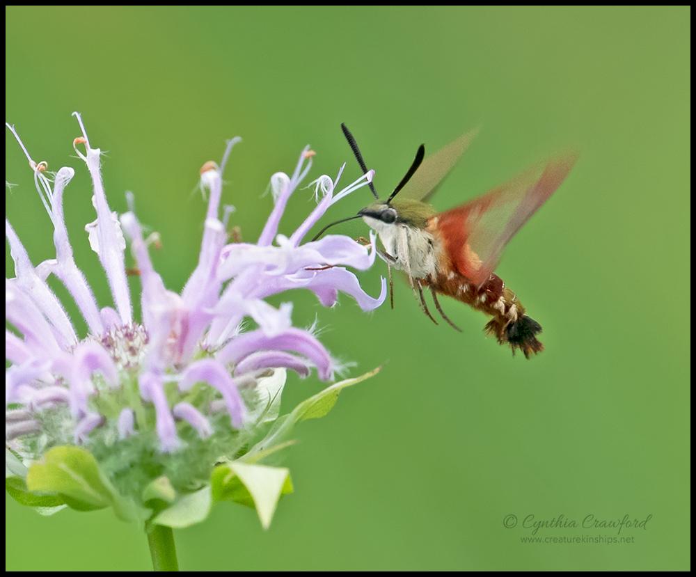 hummingbird.moth.DSC4755.jpg