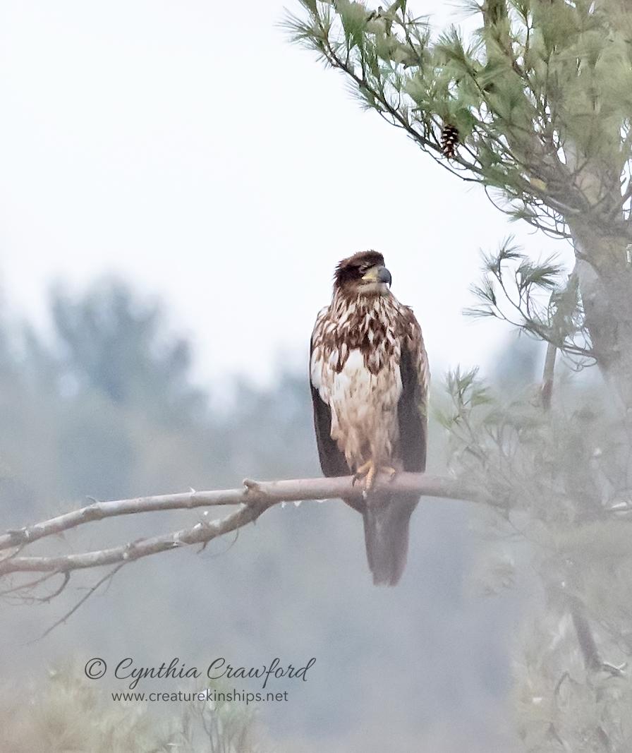bald.eagle.imm.branch_DSC2144.jpg