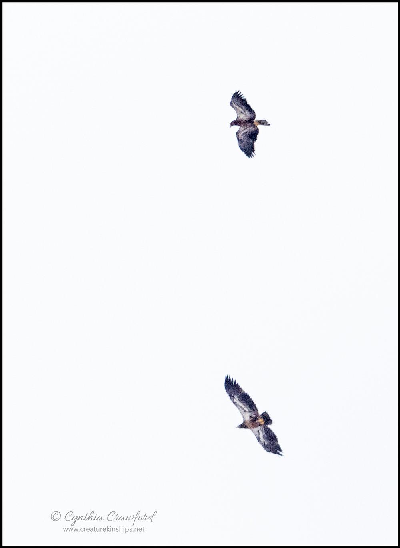 eagles.2.imm_DSC2336.jpg