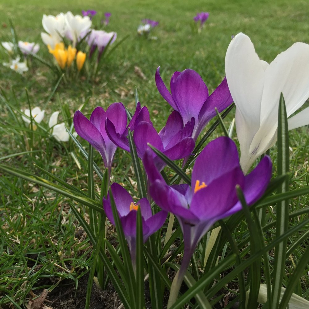 Crocuses naturalized in the lawn