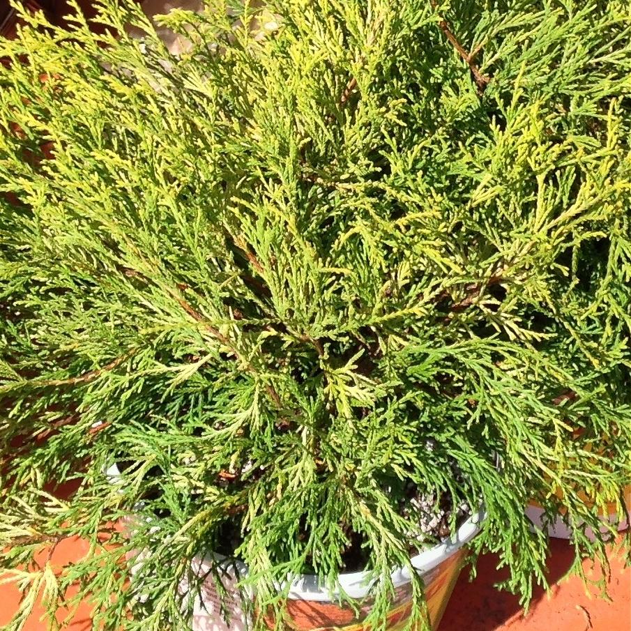 Golden mop thread leaf cypress