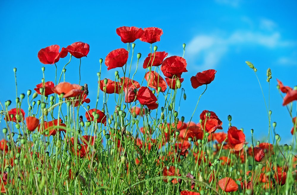 poppy-flower-klatschmohn-blossom-110083.jpeg