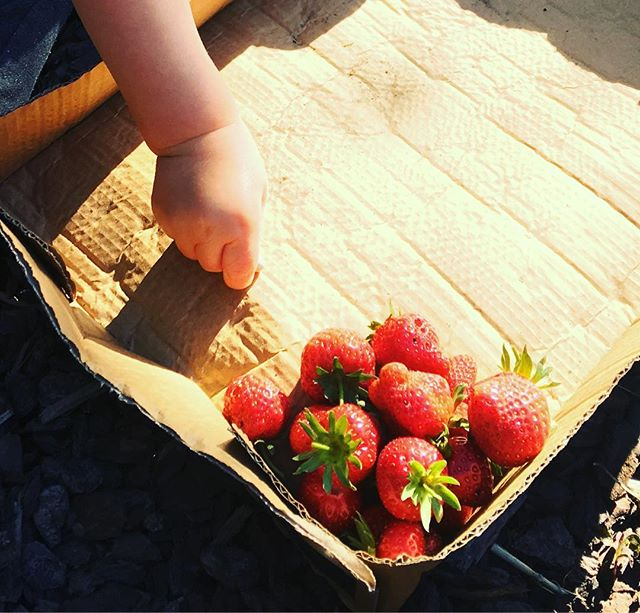 🍓The most strawberries I've ever grown... and picked all in one go, with lots more to go,🍓lucky cos the little dude can't get enough! 🍓 They are so delicious 🍓 #homegrown