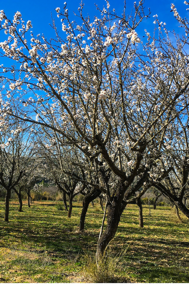 #Almond fields on Ibiza | #Mandelfelder auf #Ibiza