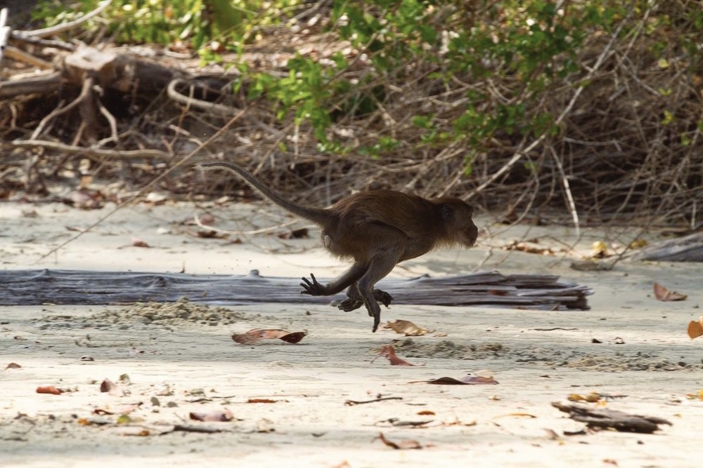 crab eating macaque running at the bay