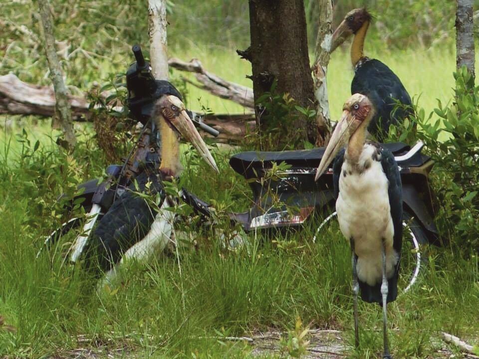 rare lesser adjutant cranes at Tung Dap