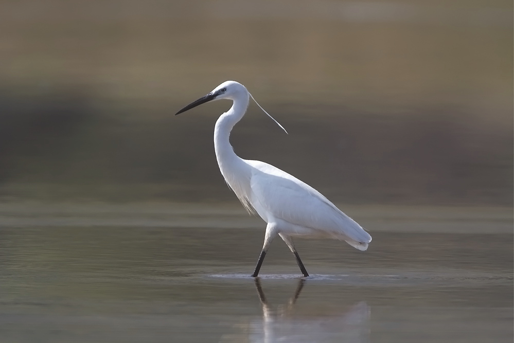little egret wading through water