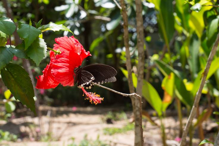 large black butterfly on red hibiscus flower