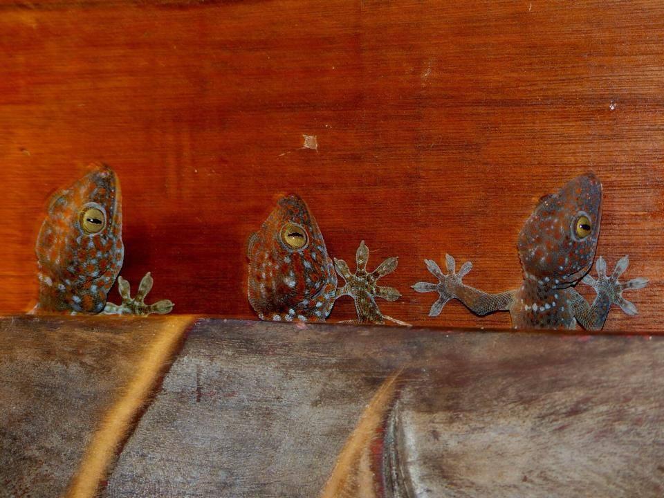 a family of tokay geckos hiding behind a buddha frame