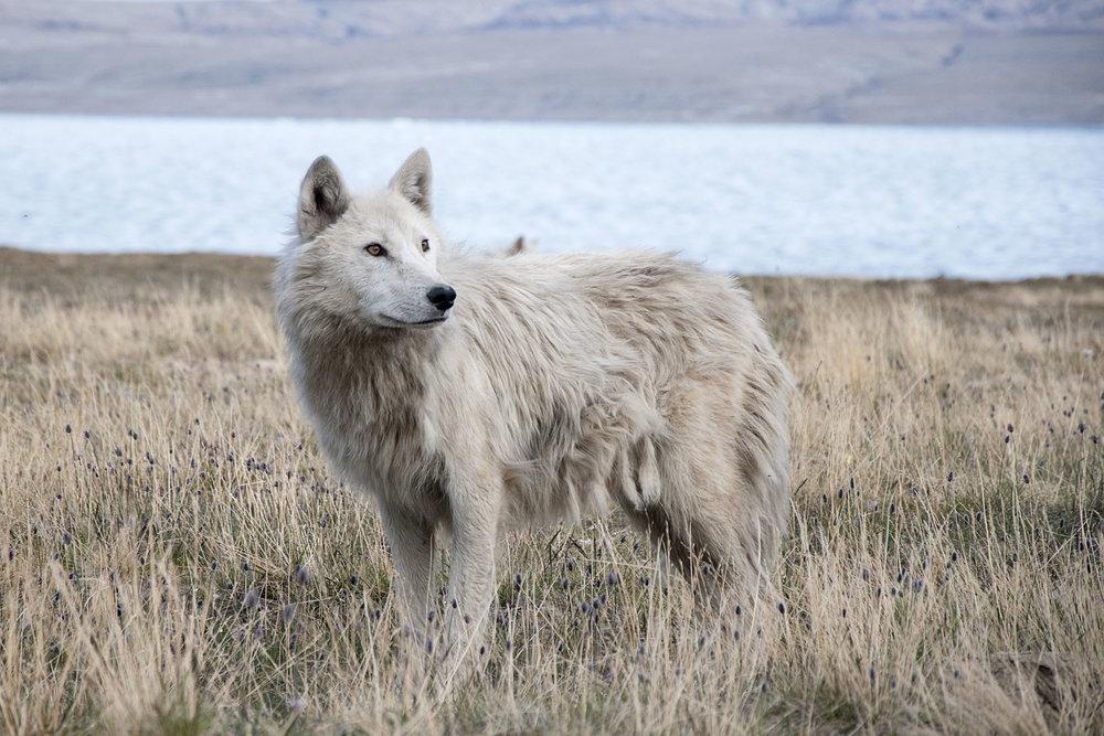 Blue Wolf -- 150dpi.jpg