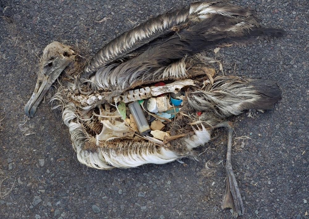 "Laysan Albatrosses, ""A chick can have an ounce of plastic in its belly and remain healthy; the dead chicks have twice as much."" (Image Source: Chris Jordan, Ocean)"