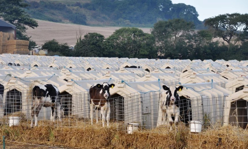 Young cows growing on a factory farm. (Source: Animal Equality/PA)