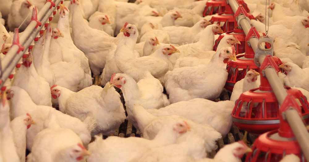A look inside a poultry farm. (Image Source: ASPCA)