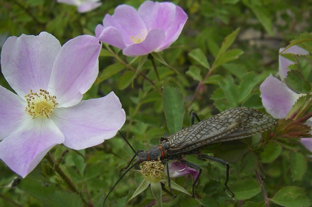 Rose and Salmonfly_1_Jul_2009.jpg