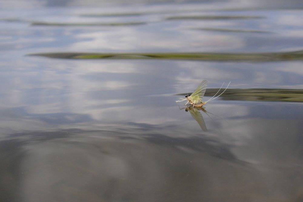 Epeorus Mayfly