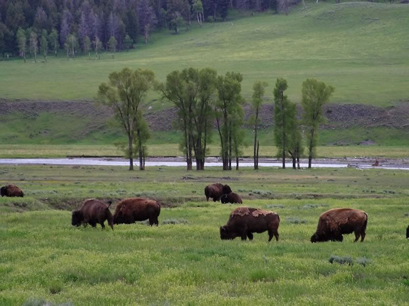 Bison-Hayden-Valley.jpg