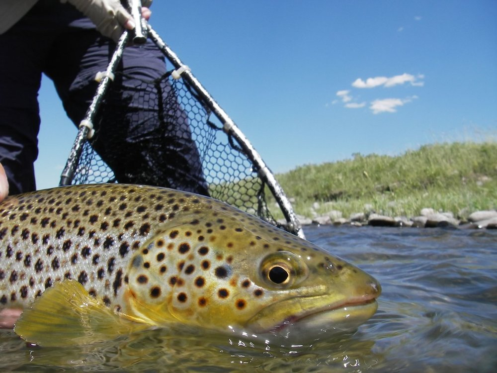 Beautiful brown trout