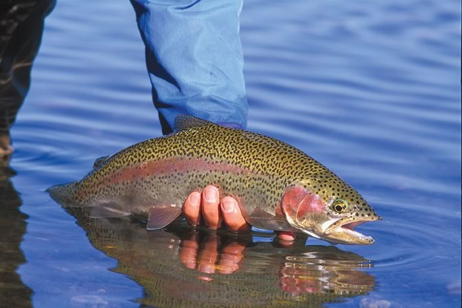 A beautiful rainbow trout on Hebgen Lake