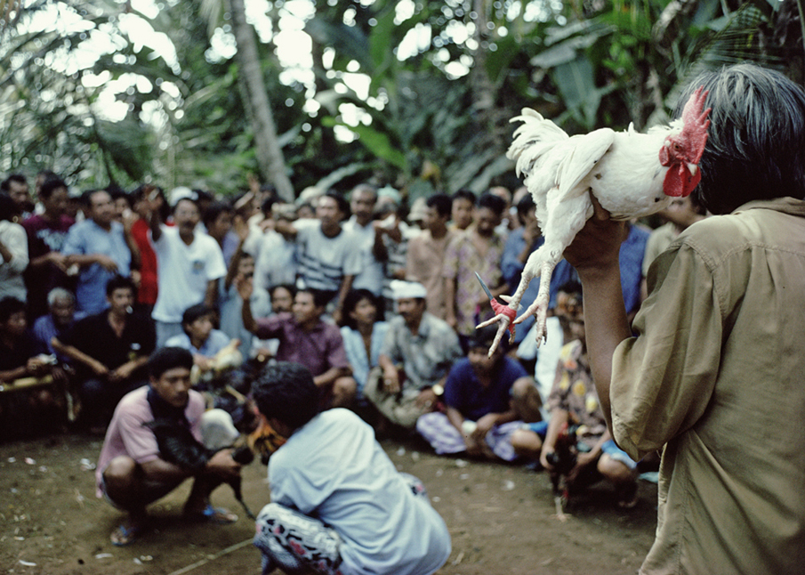 11.Bali cockfight.jpg