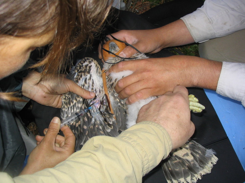 Drawing blood to better understand the Peregrine. Photo by Frank Pianka.