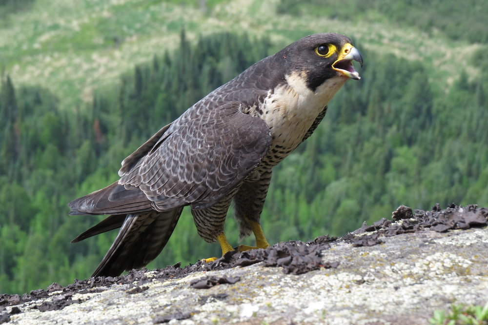 Peregrine Falcon in all its glory. Photo by Brian Ratcliff.