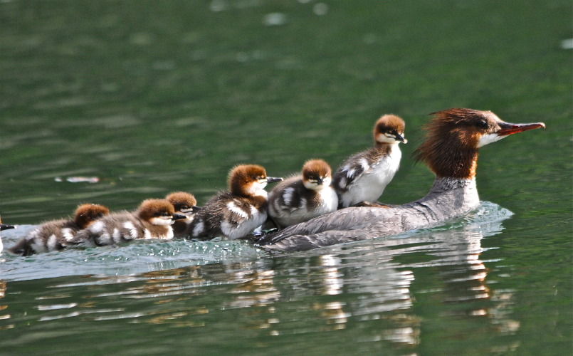 Achim Purschwitz of Radium took this family portrait of Mergansers in the Columbia River wetlands at Athalmer.