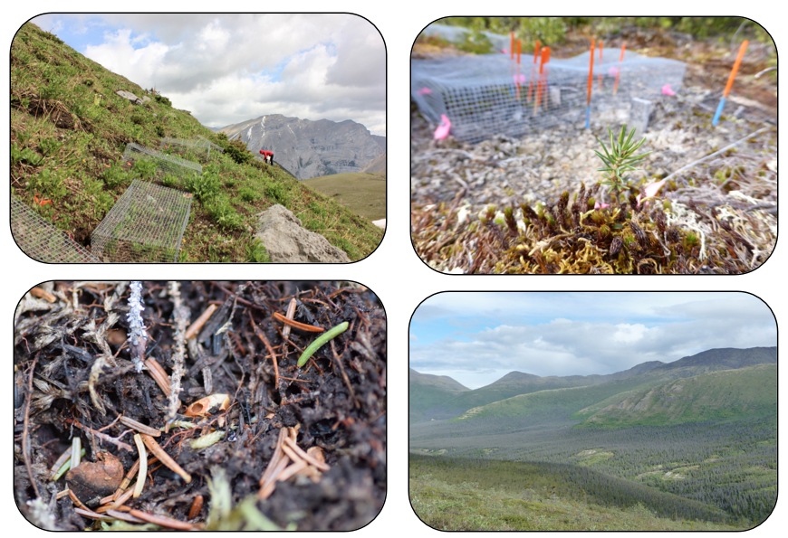 Figure 3:  Factors that may complicate a tree's response to climate warming include herbivory, which we can test using herbivore exclosure cages shown here on (a) Fortress Mountain, Kananaskis Country, AB (photo credit: Emma Davis) and (b) Mackenzie Mountains, NT (Steven Mamet). Other species interactions can prevent a tree from establishing across life stages, via processes such as (c) seed predation (Anna Crofts) and (d) pathogens infecting and killing adults (e.g., spruce bark beetle; Katherine Dearborn).
