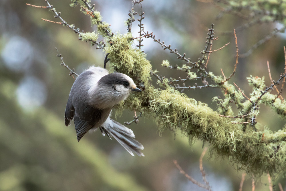 Grey Jay. Photo by Nick Parayko.