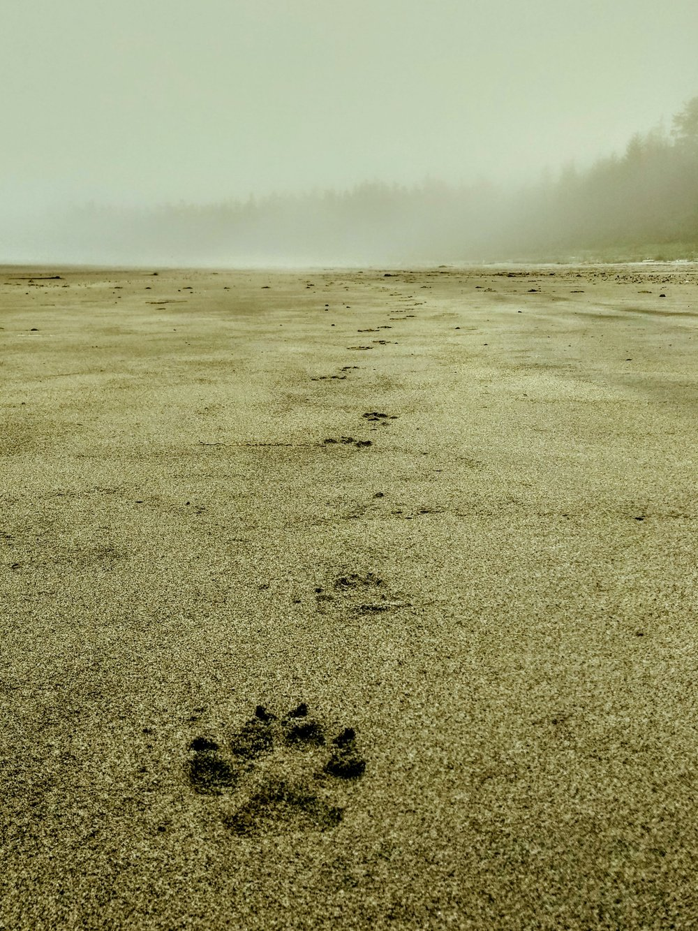 Wolf prints along the North Coast Trail