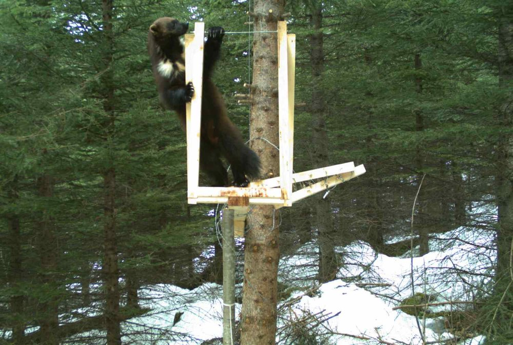 First breeding female detected. Photo: M. Barrueto /  wolverinewatch.org