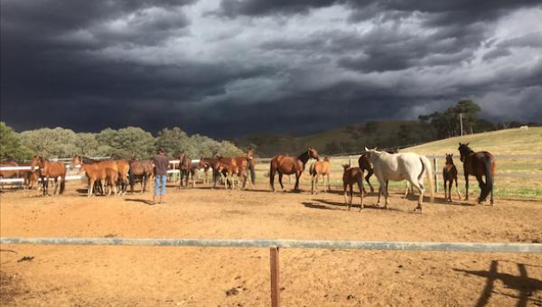 Recipient mares and foals