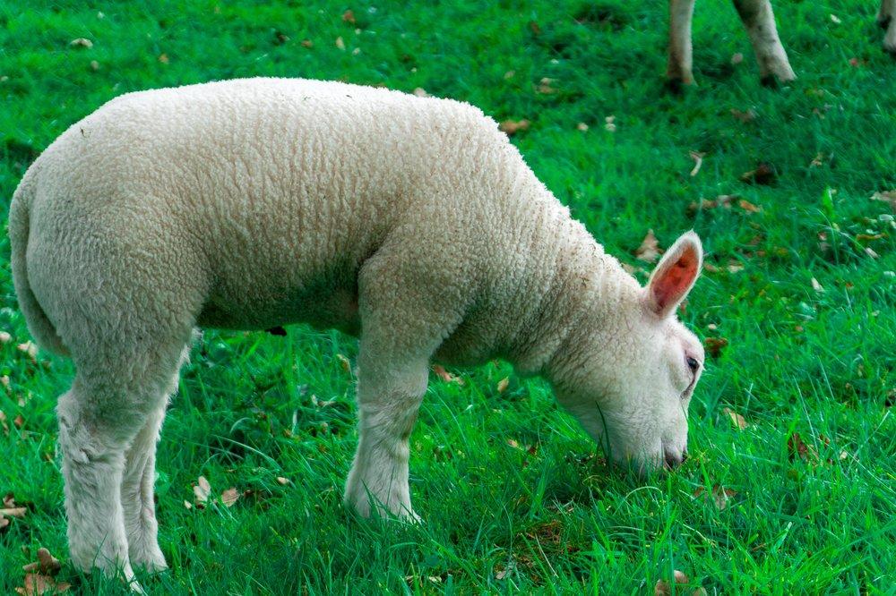 lil lamb 1-1.jpg