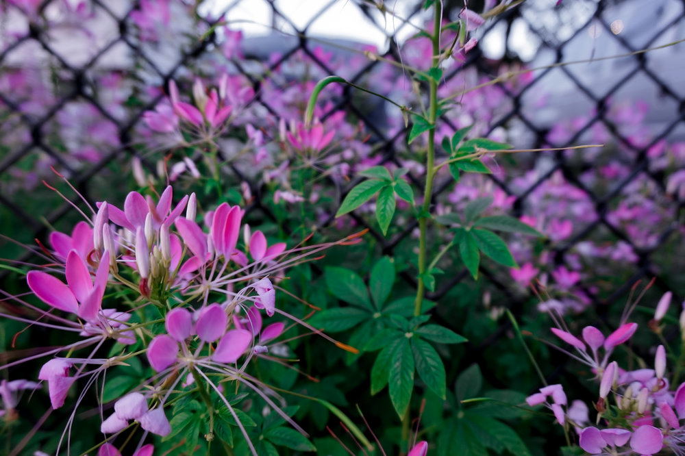 flowers, fence-1.jpg