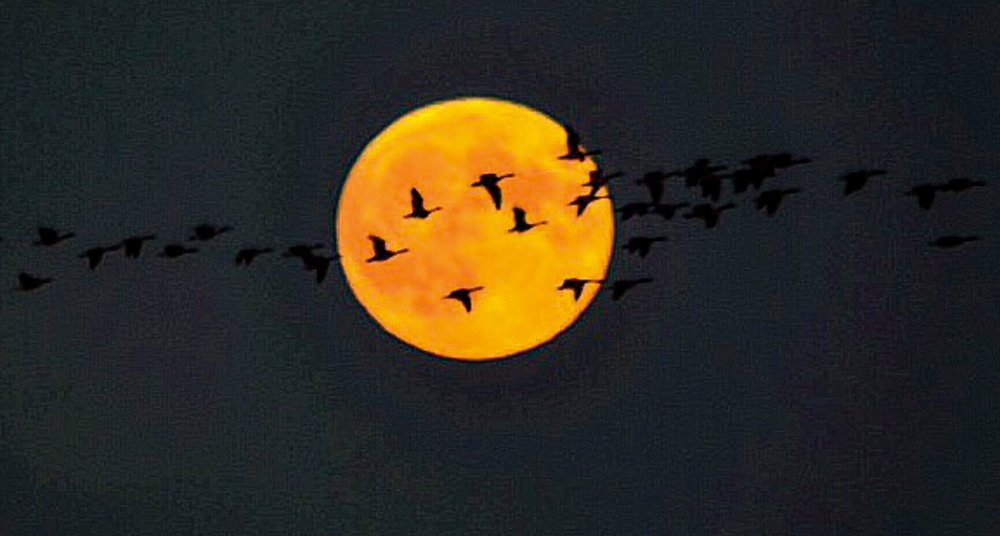 Geese and Supermoon