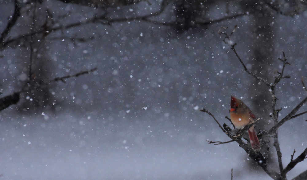 Female Cardinal in Tree During Snowfall